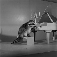 A Raccoon:  Trained to Play, A Miniature Piano!