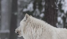 Find GIFs with the latest and newest hashtags! Search, discover and share your favorite Wolf GIFs. The best GIFs are on GIPHY. Wolf Hybrid, Wolf Photos, Wolf Love, She Wolf, Camping Photography, Wolf Howling, Aesthetic Gif, Werewolf, Spirit Animal