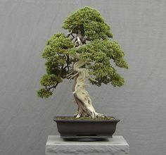 -------------------------  هذه الصفحة مخصصة للأشجار الغريبة الشكل , الأشجار القزمة (البونساي الياباني), والقصد هو زيادة الإهت...