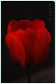 pincamilo esparza on rosas   pinterest   tulipe et fleur