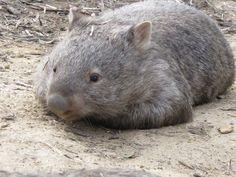 Doormat wombat.