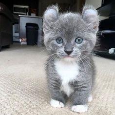 katt med korta ben
