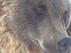Amador, another of WSPA's beautiful rescued bears