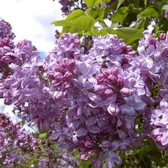 Syringa X hya.Lavender Lady' Lavender Lady Lilac from Prides Corner Farms Full Sun Shrubs, Bushes And Shrubs, Blue And Purple Flowers, Lavender Flowers, Lilac Bushes For Sale, Dwarf Lilac, Lilac Tree, Grandmas Garden, White Flower Farm