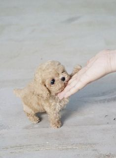 miniature poodle puppies for sale in usa miniature poodle for sale usa miniature poodle dogs for sale miniature poodle for sale miniature poodle for sale in california miniature poodle puppies for sale in california miniature poodles for sale in florida miniature poodle for sale cheap miniature poodle for sale in florida miniature poodle puppies for sale in florida miniature poodle for sale in oregon miniature poodle puppies for sale in oregon Super Cute Puppies, Cute Baby Dogs, Cute Little Puppies, Small Puppies, Cute Dogs And Puppies, Baby Puppies, Cute Little Animals, Small Dogs, Doggies