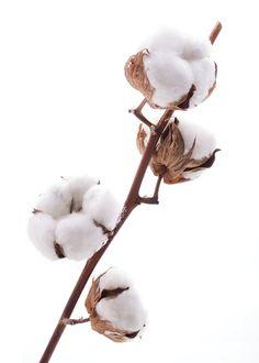 ** cotton