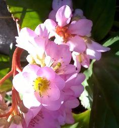 utimorzsák: Bőrlevél / borvirág