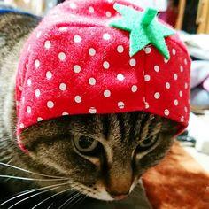 考えるいちご。  #おびちゃん #猫 #ねこ#ねこすたぐらむ #にゃんこ #にゃんすたぐらむ #にゃじら #ねこのいる生活 #ぺっと #cat #catstagram #pet #ilovemypet #きじとら猫 #キジトラ #キジトラ部  #かわいい #cute #もふもふ #猫好きさんと繋がりたい #うちのこ #にゃんにゃん #ねこ部 #猫と暮らす #愛猫 #🐱 #にゃんだふるらいふ #ねこのかぶりもの #かぶりものねこ  #いちごちゃん