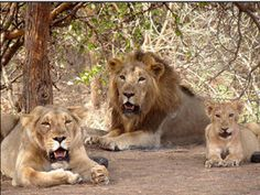 Czech zoo to get the pride of Gujarat as gift  @ sanctuariesindia.com
