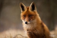 Red Fox by Frits Hendriks on 500px