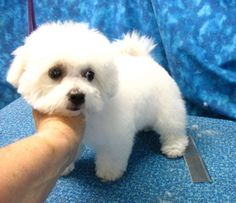 To know a Bichon is to love a Bichon