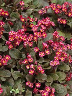 Primula 'Dark Rosaleen' - from open garden, split into 4 into F. Died - don't split in autumn Partial Shade Plants, Hardy Perennials, Ornamental Plants, Types Of Flowers, Begonia, Clematis, Color Mixing, Orchids, Lily