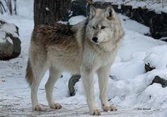 Denali   by internationalwolfcenter
