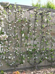 Espalier fruit trees, De La Quintinye, Kitchen Garden of King Louis XIV, Versailles Backyard Vegetable Gardens, Fruit Garden, Edible Garden, Garden Landscaping, Outdoor Gardens, Garden King, Garden Art, Garden Design, Herb Garden