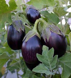 Black Beauty Eggplant Plant