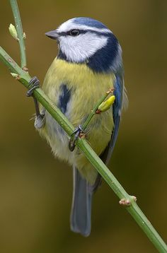 The Blue Tit (Cyanistes caeruleus) is a small passerine bird. This species is widespread and a common resident breeder throughout temperate and subarctic Europe and western Asia.