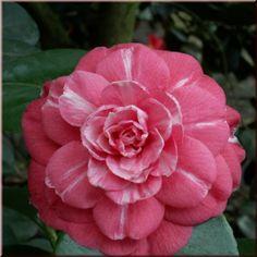 Camellia japonica 'Antonietta Colnaghi' (Italy, 1856)