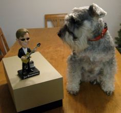 """This is our precious Be-Bay Katie Blue with Joe Bonamassa's """"Joe Bobble!"""" She is a miniature schnauzer that is so smart, quiet (until the doorbell rings), she loves to cuddle, AND she knows who Joe is! Joe Bonamassa, Ring Doorbell, Miniature Schnauzer, Schnauzers, Cuddle, Love Her, Miniatures, Kitty, Dogs"""