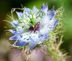 Nigella Damascena - Love in a Mist