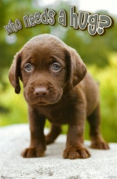 National Hugging Day I need a Chocolate Lab Puppy hug and some puppy breath Smooches