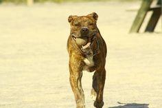 Barton (Octubre 2009). Pitbull. Cariñoso, muy activo y bueno. Le encantan las pelotas de juguete. Necesario tener licencia para PPP.