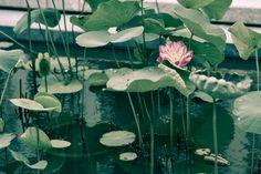 https://www.flickr.com/photos/paragon1988/shares/Gp6x2N | Thanh Pham's photos #photography #flower #nature #naturelover #life #lotus