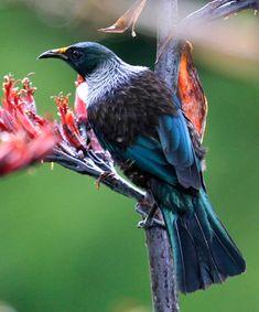 Plants for the birds of New Zealand - tui, silvereye (waxeye), kereru The Beautiful Country, Beautiful Birds, Tui Bird, New Zealand Houses, Wild Photography, Kiwiana, Reptiles And Amphibians, Cool Countries, Bird Watching
