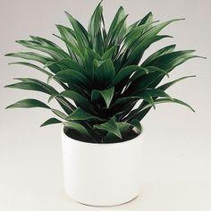 Dracaena 'Janet Craig' (Dracaena deremensis)   My Garden Life