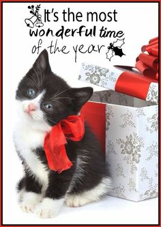 Kitten Cat Wallpaper Ios - Best of Wallpapers for Andriod and ios Little Kittens, Kittens Cutest, Cats And Kittens, Christmas Animals, Christmas Cats, Christmas Colors, White Christmas, Merry Christmas, Cute Presents