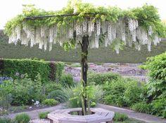 Wisteria Umbrella - wonder how you'd train it to do this? Wisteria Umbrella - wonder how you Dream Garden, Garden Art, Beautiful Gardens, Beautiful Flowers, Wisteria Tree, Wisteria Trellis, Wisteria Garden, White Wisteria, Baumgarten