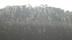 Trees behind reeds Slapton Ley.