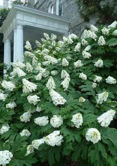 Oakleaf Hydrangea Tall Wide Deciduous Blooms in Summer Plant in Any Lighting Conditions in Acidic-Alkaline Soil that is Moist Growth Rate Slow to Medium Hydrangea Quercifolia, Hortensia Hydrangea, Hydrangea Garden, Garden Shrubs, Flowering Shrubs, Diy Garden, Lawn And Garden, Garden Plants, Oak Leaf Hydrangea