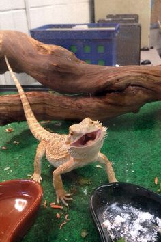 bearded dragon animated gif - Google Search