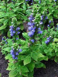 Lobelia siphilitica Great Blue Lobelia