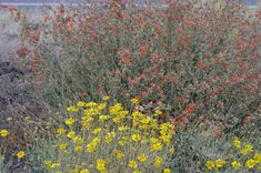 This clump of Encelia actonii and Desert mallow were growing alongside a road near Barstow making a spot show of wildflowers. Mojave Desert, Palm Desert, Desert Flowers, Wild Flowers, California Wildflowers, One Tree, Shrubs, Perennials, Planting Flowers