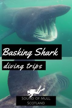 Basking Shark Diving Trips in Scotland in the Sound of Mull – World Adventure Divers – Scuba Diving in Scotland – Read more on https://worldadventuredivers.com/2015/09/17/basking-sharks-summer-trips-sound-of-mull-scotland/ #scubadivingdestinations #scubadivingquotestheocean #scubadivingtrips