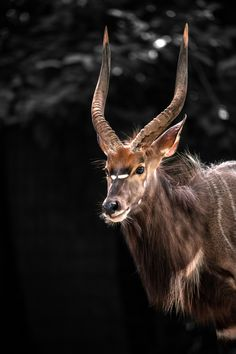 ♂ Wildlife photography animals The nyala (Nyala angasii or Tragelaphus angasii), also called inyala, is a South African spiral-horned antelope.