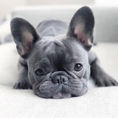'design french bulldog' by Super Cute Puppies, Cute Dogs And Puppies, Baby Dogs, Pet Dogs, Doggies, Corgi Puppies, Cutest Dogs, Grey French Bulldog, French Bulldog Puppies