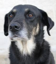 """""""BETTY""""-ID 20509146  is a very sweet Shepherd/Mix, 6 years 4 days & spayed. Betty was transferred to the shelter from Animal Care Services. She's a very sweet & loving girl who can't wait to meet her new family. Betty loves to receive lots of attention & enjoys exploring her surroundings. She is a very smart girl & already knows how to sit on command & shake paws. PLS HELP THIS SWEET GIRL FIND HER LOVING FUREVER HOME."""