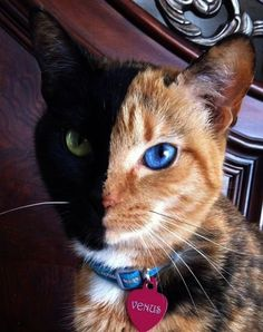 Meet Venus the Majestic Two-Toned-Faced CatClick on Venus and enjoy more beautiful photos of her