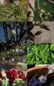 Jong bramenblad ; eind voorjaar plukken, vers gebruiken of drogen voor thee (niet boven de 40 graden) Bevat veeel vitamine C