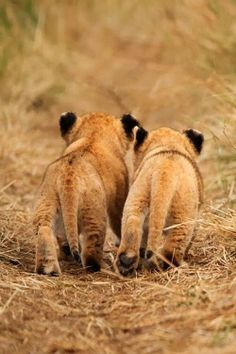 lion cubs taking a walk together