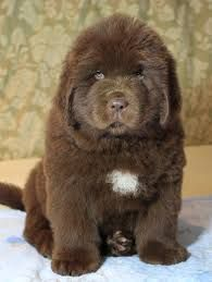 Newfoundland Puppies For Sale - AKC PuppyFinder