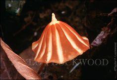 Marasmius sp., Amazon