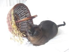 Burmese tomcat looks forward with wicker basket decorated with mistletoe Looking Forward, Burmese, Mistletoe, Wicker Baskets, Photo Editing, Stock Photos, Fine Art, Creative, Pictures