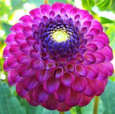 Photo of the bloom of Dahlia 'Irish Miss' Rare Flowers, Exotic Flowers, Amazing Flowers, Beautiful Flowers, Dahlia Flowers, Tropical Flowers, My Flower, Flower Power, Cactus Flower