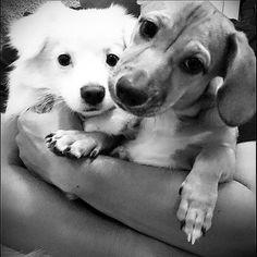 We are so loved. #haleyreinhart #jonsnow #kitharington #gameofthrones #dogsoftheday #dogsofinstagram #mixedbreeddogsofinstagram #mixedbreeddogs #pomeranian #maltese #dachshund #cotondetulear #cutepuppies #smalldogs #iphonegraphy #androidgraphy #tbt #americanidol #love  Photo By: haley_and_jonsnow