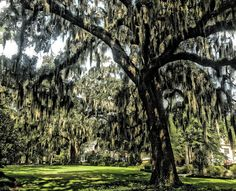 Live oaks in downtown Tallahassee on East Park Avenue