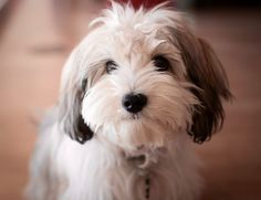 """Click visit site and Check out Hot HAVANESE Shirts. This website is excellent. Tip: You can search """"your last name"""" or """"your favorite shirts"""" at search bar on the top. #Abyssinian #Cat"""
