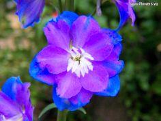 blue and purple free blue purple delphinium flower pictures